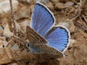Escher's Blue butterfly male - Teruel, Spain 19-6-10 © P Browning