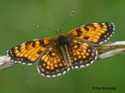 False-Heath-Fritillary-butterfly-Melitaea-diamina-2758