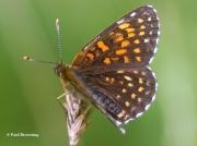 False-Heath-Fritillary-butterfly-Melitaea-diamina-2759