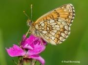 False-Heath-Fritillary-butterfly-Melitaea-diamina-2760r