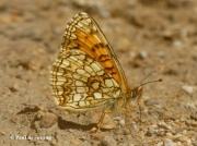 False-Heath-Fritillary-butterfly-Melitaea-diamina-2761