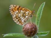False-Heath-Fritillary-butterfly-Melitaea-diamina-2762