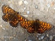 Heath-Fritillary-and-False-Heath-Fritillary-butterflies-2763