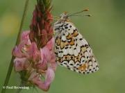 Glanville-Fritillary-butterfly-Melitaea-cinxia-Spain-2740