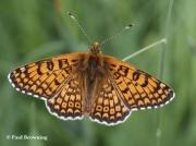 Glanville-Fritillary-butterfly-Melitaea-cinxia-Spain2741