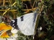 Green-striped-White-butterfly-Euchloe-belemia-female-2657