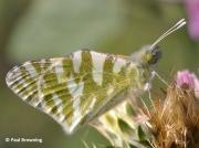 Green-striped-White-butterfly-Euchloe-belemia-2655