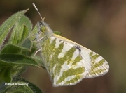 Green-striped-White-butterfly-Euchloe-belemia-male-2658