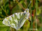 Green-striped-White-butterfly-Euchloe-belemia-2656