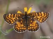 Heath-Fritillary-butterfly-Melitaea-athalia-2764