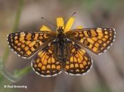 Heath-Fritillary-butterfly-Melitaea-athalia-2765