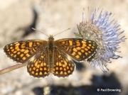 Heath-Fritillary-butterfly-Melitaea-athalia-2766