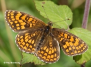 Heath-Fritillary-butterfly-Melitaea-athalia-2767