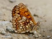 Heath-Fritillary-butterfly-Melitaea-athalia-2768