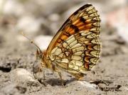 Heath-Fritillary-butterfly-Melitaea-athalia-2769