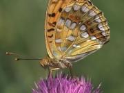 High-Brown-Fritillary-butterfly-Argynnis adippe-2719