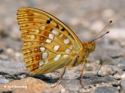 High-Brown-Fritillary-butterfly-Argynnis adippe-2720