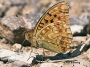 High-Brown-Fritillary-butterfly-Argynnis adippe-2721