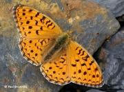 High-Brown-Fritillary-butterfly-Argynnis adippe-2722