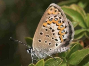 Idas Blue butterfly female - Granada, Spain 28-6-7 © P Browning