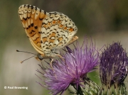 Knapweed-Fritillary-butterfly-Melitaea-phoebe-2746
