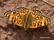 Knapweed-Fritillary-butterfly-Melitaea-phoebe--2747