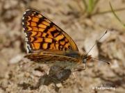 Knapweed-Fritillary-butterfly-Melitaea-phoebe-2748