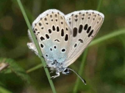 Large Blue butterfly  female - Navarra 6-7-09 - © P Browning