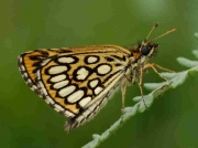 Large Chequered Skipper male - Spain © P Browning