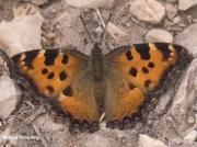 Large-Tortoiseshell-butterfly-Nymphalis-polychoros-2708