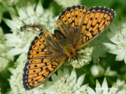 Lesser-Marbled-Fritillary-butterfly-Brenthis-ino-2729