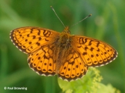 Lesser-Marbled-Fritillary-butterfly-Brenthis-ino-spain-2730