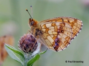 Lesser-Marbled-Fritillary-butterfly-Brenthis-ino-spain-2731