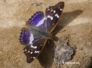 Lesser-Purple-Emperor-butterfly-Apatura-ilia-Spain-2699