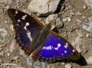 Male Lesser Purple Emperor butterfly (Apatura ilia)