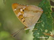 Lesser-Purple-Emperor-butterfly-Apatura-ilia-Spain-2701