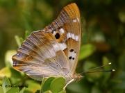 Lesser-Purple-Emperor-butterfly-Apatura-ilia-Spain-2702