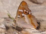 Lesser-Purple-Emperor-butterfly-Apatura-ilia-Spain-2703