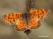 Lesser-Spotted-Fritillary-Melitaea-trivia-2757