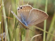 Long-tailed Blue butterfly female - Granada, Spain 13-5-09 © P Browning