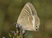 Long-tailed Blue butterfly female oviposting - Teruel, Spain 27-7-13 © P Browning