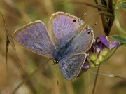 Long-tailed Blue butterfly male - Castellon, Spain -24-7-13 © P Browning
