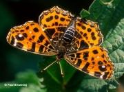 Map-Butterfly-Araschnia-levana-Spain-2710