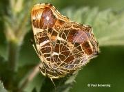 Map-Butterfly-Araschnia-levana-Spain-2711