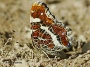 Map-Butterfly-Araschnia-levana-Spain-2712