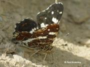 Map-Butterfly-Araschnia-levana-Spain-2713