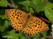 Marbled-Fritillary-butterfly-Brenthis-daphne-2727