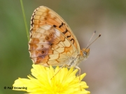 Marbled-Fritillary-butterfly-Brenthis-daphne-2728
