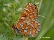 Marsh-Fritillary-butterfly-Euphydryas-aurinia-2776