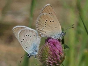 Mazarine Blue butterfly pair - Avila, Spain 25-6-09 © P Browning